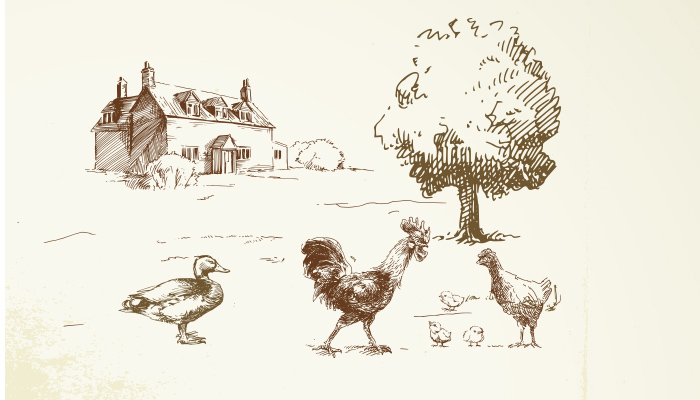 Mauser bei Hühnern